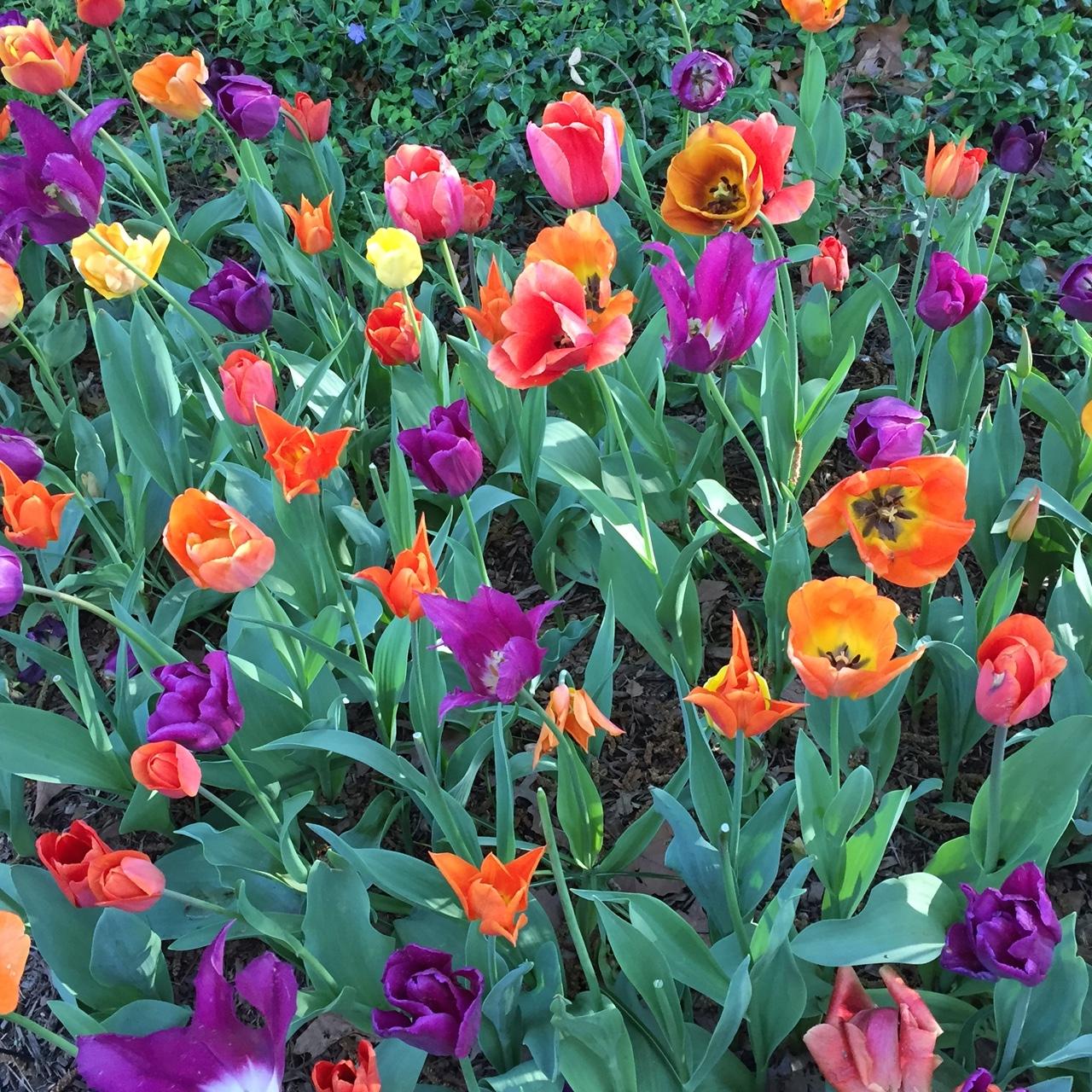 Tulipa in Central Park