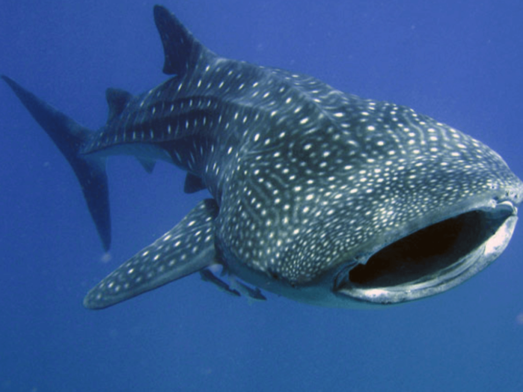 Swimming With Whale Sharks…